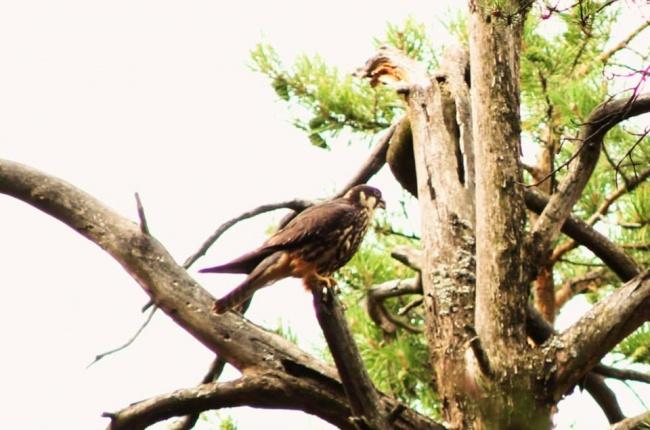 черняевский лес (редкая птица)